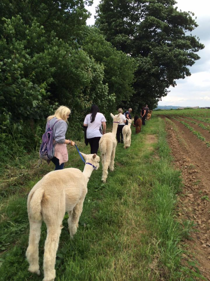 Family Alpaca Walk - 2 Adults with up to 4 children sharing 2 alpacas