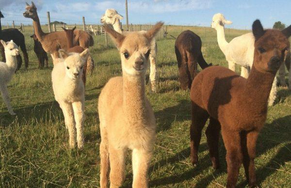 Alpaca Walk - 2 adults sharing 1 alpacas