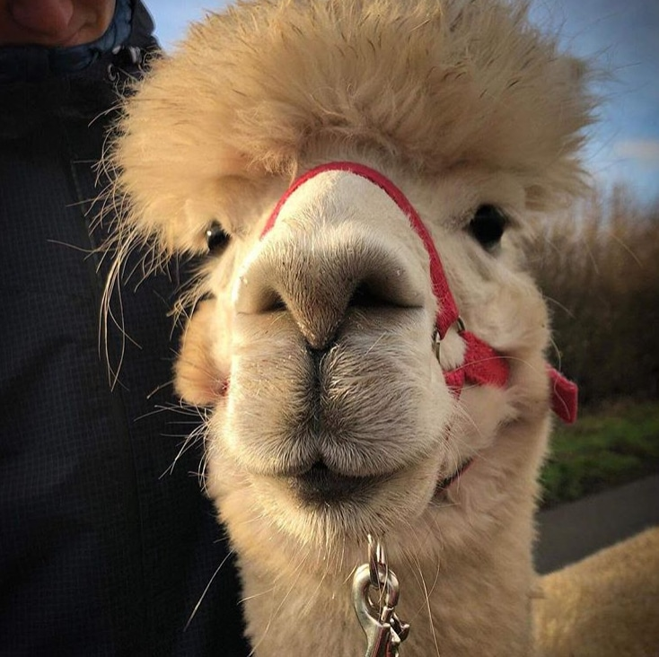 alpaca walk for two